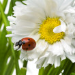 coccinella in una margherita — Foto Stock