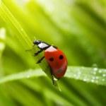 coccinella a primavera — Foto Stock