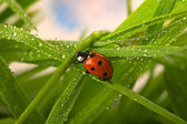 Wet ladybird — Foto de Stock