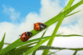 Two ladybird — Foto de Stock