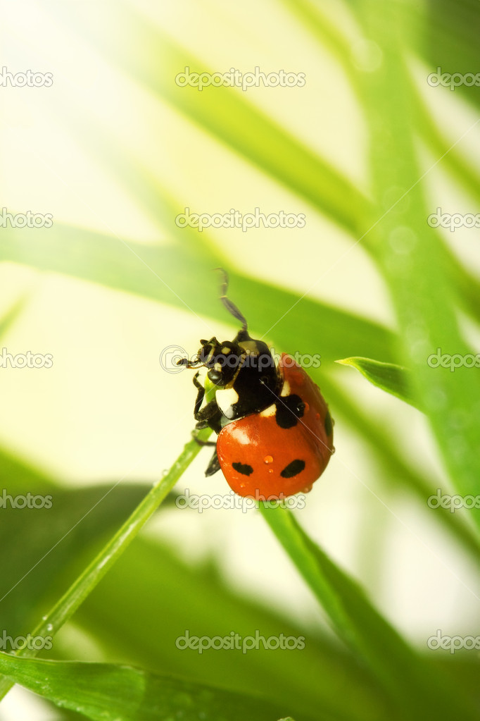 Spring ladybird  Stock Photo #1727469