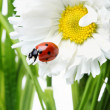 Stock Photo: Ladybird in a daisy