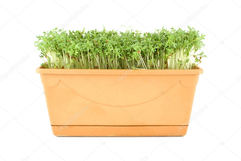 Garden pepper cress in tray isolated on white. — Stock Photo #2335585