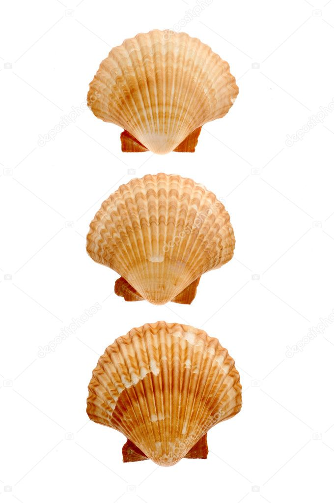A close-up of  seashell isolated on white background — Stock Photo #1943375