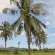Stock Photo: Palm tree with coconuts