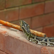 Royalty-Free Stock Photo: Python snake on brick wall