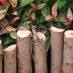 Little iguana on a wooden fence — Stock Photo