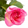 Pink rose isolated on white — Stock fotografie