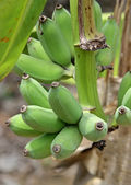 Green Banana Grove to background — Stock Photo