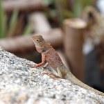 Close-up little iguana on a stone — Stock Photo