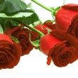 Red roses isolated on white — Stock Photo #2132083