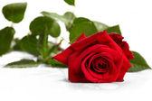 Beautiful red rose — Photo