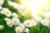 Field of daisies — Foto Stock