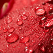 Stock Photo: Red rose, drop water
