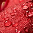 Red rose, drop water — Stock Photo