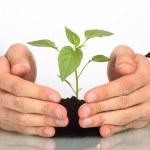 une plante entre les mains des hommes d'affaires — Photo