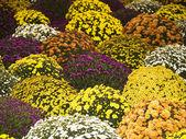 Various autumn flowers — Stock Photo