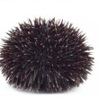 Sea Urchin — Stock Photo #1696780