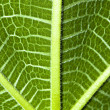 Green fig leaf texture — Stock Photo #1697516