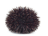 Sea Urchin — Stock Photo