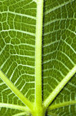 Green fig leaf texture — Stock Photo