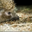 Hedgehog — Stock Photo #1715909