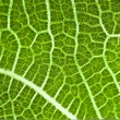 Green fig leaf texture — Stock Photo #1716850