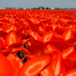 Field of red flowers — Foto de Stock