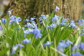 Scilla siberica near tree — Stock Photo