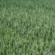 Field with green wheat — Stock Photo #2036335