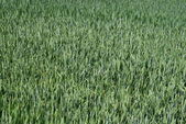 Field with green wheat — Stock Photo