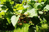 Green black currant — Stock Photo
