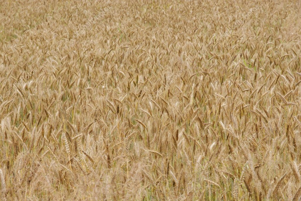 Landscape of field of wheat ears. — Stock Photo #2036349