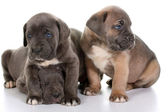 Italian mastiff cane corso — Stock Photo
