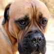 Bull Mastiff — Stock Photo