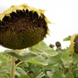 Sunflowers — Stock Photo #2189491