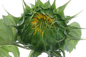 Sunflower bud — Stock Photo