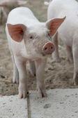 Funny piglet — Stock Photo