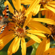 Butterfly on rudbekia — Stock Photo