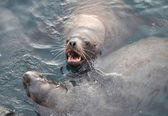 Seals. Sea animals — Stock Photo