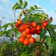 Mountain ash — Foto Stock