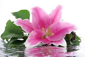 Pink lily with reflection — Photo
