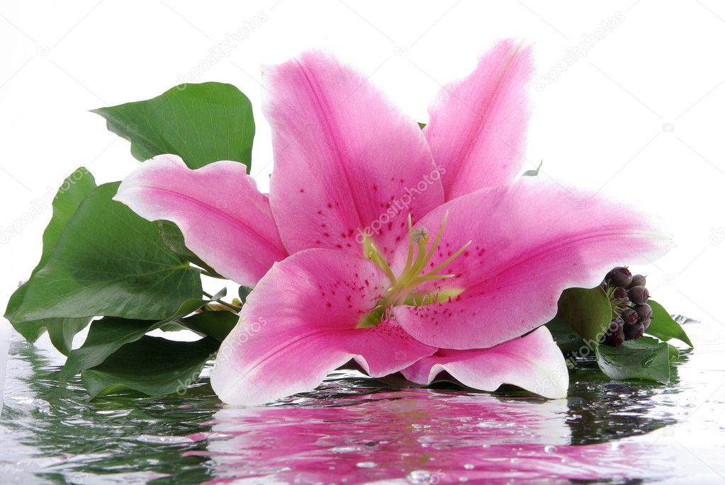 Pink lily with reflection — Foto de Stock   #2153273
