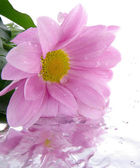 Enda blomma isolerade — Stockfoto