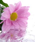 Pojedynczy kwiat na białym tle — Zdjęcie stockowe