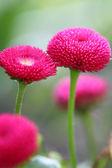 розовый цветок — Стоковое фото