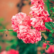 Pink flowers — Stock Photo #1810397