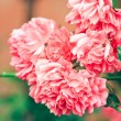 Pink flowers — Stock Photo #1810426