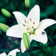 White Lilies — Stock Photo #1810462