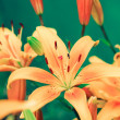 Lilies — Stock Photo #1810540